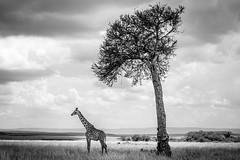 Giraffe and Acacia.jpg (Darren Berg) Tags: giraffe maasai masai mara savannah bw blackandwhite fine art kenya wildlife