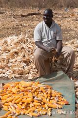 A man and his harvest (10b travelling / Carsten ten Brink) Tags: 10btravelling 2018 africa africaine african afrika afrique carstentenbrink cotedivoire elfenbeinkueste iptcbasic ivorian ivorycoast korhogo senoufo senufo westafrica africain cmtb corn husking ivoirien ivoirienne knife maize man north tenbrink