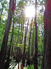 Sun Shines Through The Tall Trees. (dccradio) Tags: lumberton nc northcarolina robesoncounty outdoor outdoors outside lutherbrittpark park citypark nature natural woods wooded jacobswamp swamp swampland swampy tree trees greenery plant treebranch treebranches branch branches treelimb treelimbs foliage leaf leaves sun sunlight sunshine june sunday afternoon summer summertime forest talltrees tall sony cybershot dscw830