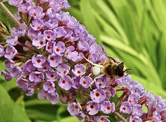 Lunchtime (robinlamb1) Tags: nature outdoor insect whitecrabspider honeybee flower butterflybush