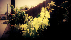 < Eventually the grapevine will bear fruits > (Wandering Dom) Tags: vine grapevine leaves tendrils nature sunlight photosynthesis garden alley over fence outdoor urban humans cultivation daylight southerncalifornia usa earth multiverse roam wandering