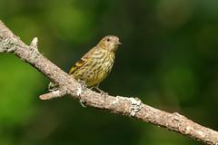Pine Siskin (4803) (Bob Walker (NM)) Tags: bird finch setup perching twig siskin pinesiskin pisi spinuspinus whiterock newmexico usa