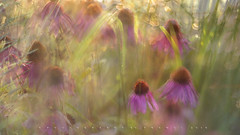 Tutus and petticoats in the meadow (Franci Van der vyver (Carmen Tulum)) Tags: purpleconeflowers doubleexposure multipleexposure helios402