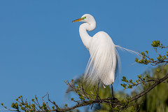 Great Egret (Linda Martin Photography) Tags: us ardeaalba florida gatorland wildlife greategret animal nature coth alittlebeauty naturethroughthelens coth5 ngc npc