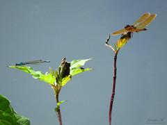 Amberwing and friend IMG_0461 (Jennz World) Tags: ©jennifermlivick mountpleasantnaturepark mountpleasant ontario canada dragonfly damselfly caterpillar butterfly