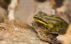 Morning break (Photosuze) Tags: frogs amphibians small treefrogs animals nature wildlife