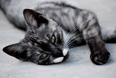 Did you want to play with me? (dagherrotipista) Tags: cat gatto gato nikond60 pet puppy
