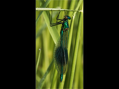 banded demoiselle (Paul West ( pwest.me )) Tags: dragonfly dragon preston brockholes nature naturelovers wildlife wildlifepics macro wildlifepictures wildlifephotographer wildlifephotography naturephotography naturepictures naturephotographer birdphotography wildlifephoto animal naturephotoportal poultonphotosoc photography wildlifeplanet intothewild wildlifeperfection naturephoto naturepics naturepic followme naturecollection natureseekers