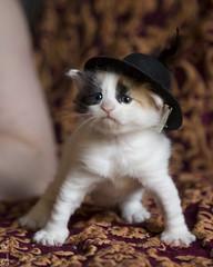 20170903_4412c (Fantasyfan.) Tags: turkish van kitten kuunkissan fantasyfanin