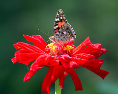 IMG_9409 Painted Lady on red Zinnia (suebmtl) Tags: americanpaintedlady vanessavirginiensis red zinnia flower closeup quebec migratory insect butterfly