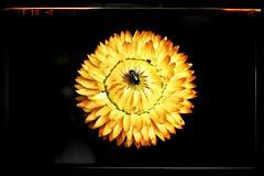 Bug (Develew) Tags: bug fly insect flyinginsects flower flyandflower yellow green yellowandgreen burtonagneshall yorkshire northyorkshire england walledgarden