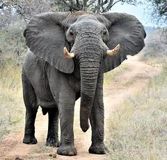 No one shall pass. (pstone646) Tags: elephant wildlife nature africa animal pachiderm southafrica safari bull fauna mammal bigfive