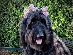 """""""Do I remind you of Ophelia?"""" (Bennilover) Tags: dogs blackdogs labradoodle flowers park crepemyrtle shakespeare plays poetry beguiling pretty benni bennigirl 52weeksfordogs"""