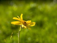 P6230095 (turbok) Tags: alpenpflanzen arnika pflanze wildpflanzen c kurt krimberger