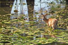 White Tailed Deer (Suzanham) Tags: water wildlife nature animal noxubeewildliferefuge mississippi lilypads deer