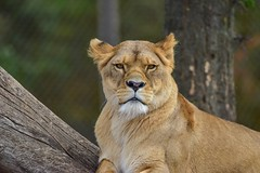 Lionne - 5649 (ΨᗩSᗰIᘉᗴ HᗴᘉS +22 000 000 thx) Tags: lion lionne animal pairidaiza tree hensyasmine namur belgium europa aaa namuroise look photo friends be wow yasminehens interest intersting eu fr greatphotographers lanamuroise tellmeastory flickering