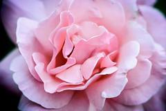 Flowerpower (christywaal1) Tags: flower flowerpower flowers bloem bloemenveld bloom nikon40mm nikonmacro nikkorphoto nikonnl nikon nikonphotography 40mmnikon nikonpicture nikonphoto nikonofficials nikond3200 raynox pinkflower picturenikon picturesofinstagram pictureoftheday phototag photography forrest focus macroamateur macromob macroflower macropicture macrolover macrobrilliance macroperfection raynoxdcr250 dcr250 flora flowerpictures plant herbs