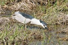 2017 Black-crowned Night Heron 20 (DrLensCap) Tags: blackcrowned night heron ledge road horicon marsh national wildlife refuge waupun wisconsin wi bird robert kramer