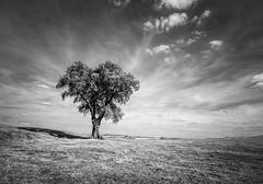 On a hillside desolate (grbush) Tags: tree lonetree blackwhite bw monochrome olympusm918mm em10mark11 m43 landscape northamptonshire dramatic minimalism minimalist alone lonelytree england rural countryside wellandvalley