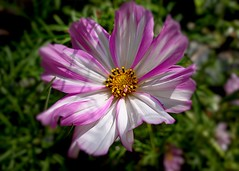 Cosmos Beauty (Bob.W) Tags: cosmos ngc