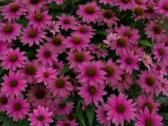 P7300920 (Copy) (pandjt) Tags: binghamtonny binghamton ny travelogue cutlerbotanicgarden garden scenicgarden cutlergarden botanicgarden powwowwildberryconeflower coneflower