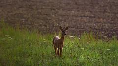 The Deer on the Field (redfurwolf) Tags: wildlife deer field outdoor nature grass animal redfurwolf sonyalpha a7rm3 tamron150600g2 aftersunset