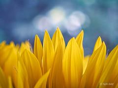 180716-70 (Brenda-Gaudi) Tags: sommer botanik pflanzen blüte blumen impression blumenstrauss