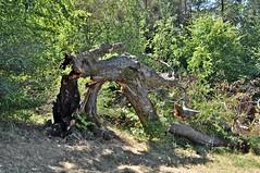 geknickter Baum (Uli He - Fotofee) Tags: ulrike ulrikehe uli ulihe ulrikehergert hergert nikon nikond90 fotofee giebelrain haunequelle baum geknickt