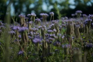 field flowering