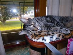 DSC01277 (MykeOwns) Tags: tabbycat tabby cat cats