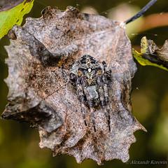 20130820_185548_Макро (Alexander Korovin) Tags: arachnid arachnida arachnids aranedae araneidae araneusangulatus closeup macro spiders крестовикугловатый макро макромир пауки паукикругопряды паукообразные