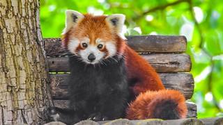 Panda Roux - HFF - 5738