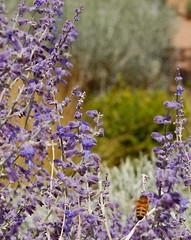 New Mexico (mademoisellelapiquante) Tags: santafe newmexico southwest desertsouthwest lavender plant honeybee bee