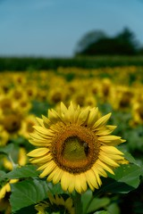 sunflower_072918_05 (Linda Moll Walker) Tags: sunflowers elverson pa summer