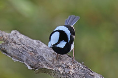 Superb Fairy-wren (Alan Gutsell) Tags: superb fairywren fairy wren superbfairywren wildlifephoto alan wildlife nature canon photo australianbird birds wynnum mangrove boardwalk australia queenslandbirds queensland