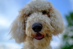 Riesling my Dog 🐶 (Markus Jaschke) Tags: view portrait 35er 3514 himmel ohren nose mouth riesling ears bäume trees mund labradoodle fang blick augen fujixt2 eyes fuji nase zunge dog doodle sky hund