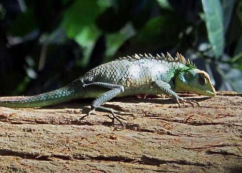 Garden Lizard (IMG_7190b)