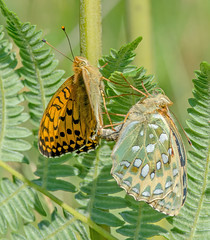 JWL7264  Dark Green Fritillary.. (jefflack Wildlife&Nature) Tags: darkgreenfritillary fritillary fritilliaries butterflies butterfly lepidoptera insects insect wildlife wetlands woodlands heathland hedgerows moorland marshland meadows marshes countryside copse glades gardens wildlifephotography jefflackphotography nectaring nature