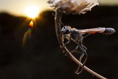 Sleeping Ammophila (thomasbarbin) Tags: ammophila sphecidae thread waisted wasp hymenoptera insect arthropod macro wildlife animal nature sunset island view beach vancouver british columbia bc canada victoria canon 7d