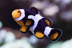Clownfish (Surefirex) Tags: aquarium fish clownfish