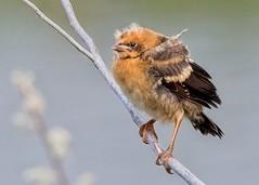 "Yellow-Headed Blackbird fledging (mtmelody14) Tags: ""babybird"" ""yellowheadedblackbirdchick"" bugged ""yellowheadedblackbird"" fledgling"