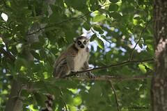 Maki catta (Passion Animaux & Photos) Tags: lemurien maki catta ringtailed lemur lemurcatta parc animalier auvergne france