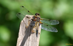 Four Spotted Chaser. Image 2. (ronalddavey80) Tags: canon eos70d tamron 70300mm