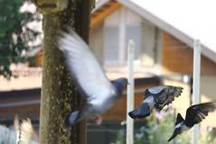 al volo (davide.alberani) Tags: imola parco park rocca uccelli birds flying sony a6000