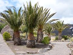 Szubtrópusi park (ossian71) Tags: spanyolország spain kanáriszigetek canaryislands lagomera gomera vallegranrey természet nature tájkép landscape park fa tree