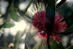 Winter's Sun (GS_Imagery) Tags: red australia nature sky flower sun