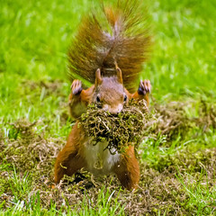 Moss monster (IngeHG) Tags: thenetherlands home garden squirrel redsquirrel moss yield explored inexplore