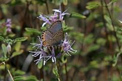 IMG_4470 (edward_rooks) Tags: sierraazulopenspacepreserve bald mountain mount umunhum insects wildflowers butterflies bees wasps assassin bug
