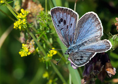 Large Blue (Darren.Chapman) Tags: large blue gloucestershire wild life insect butterfly grassland