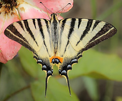 MacroMonday#Line Symmetry (Inka56) Tags: linesymmetry macromondays butterfly rose macro swalowtail symmetry 7dwf